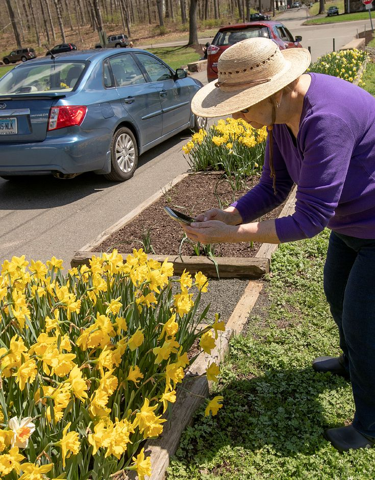 Alyce Miessler, of Hamden, takes a few photos of the daffodils blooming at Hubbard Park in Meriden, Tues., Apr. 23, 2019. Dave Zajac, Record-Journal