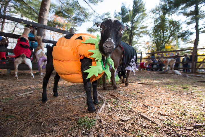 Sunday during the Goats and Goblins Parade at Bradley Mountain Soaps in Southington Oct. 30, 2016 | Justin Weekes / For the Record-Journal