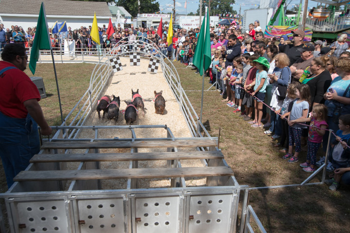 The Show-Me Safari Racing Pigs show race starts Sunday during the 75th Annual North Haven Fair in North Haven September 10, 2017 | Justin Weekes / For the Record-Journal