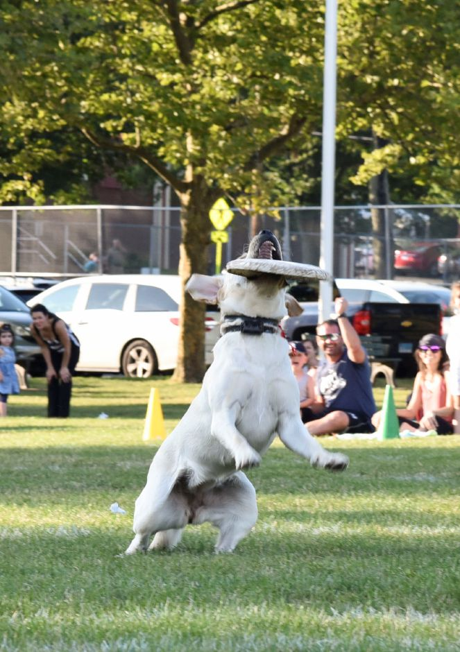 A dog named Meadow catches a frisbee thrown by owner Keith Massimino during a Skyhoundz competition on Thursday at Doolittle Park in Wallingford. Photos by Bailey Wright, Record-Journal