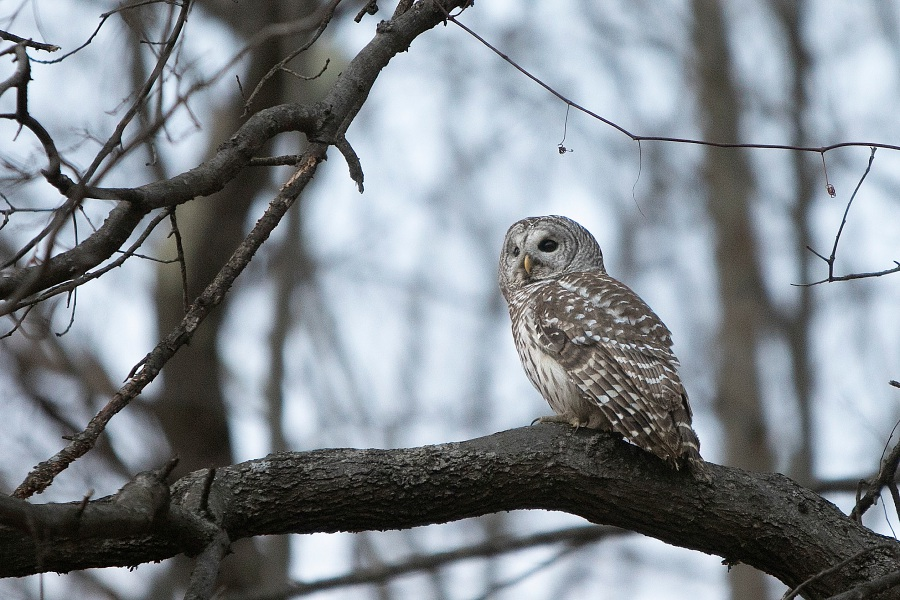 A barred owl perched in a tree after released near Mount Southington by Jayne Neville of Mount Vernon Songbird Sanctuary, Wed., Jan. 16, 2019. The owl was struck by a vehicle on Dec. 27 and was rehabilitated and released Wednesday. Dave Zajac, Record-Journal