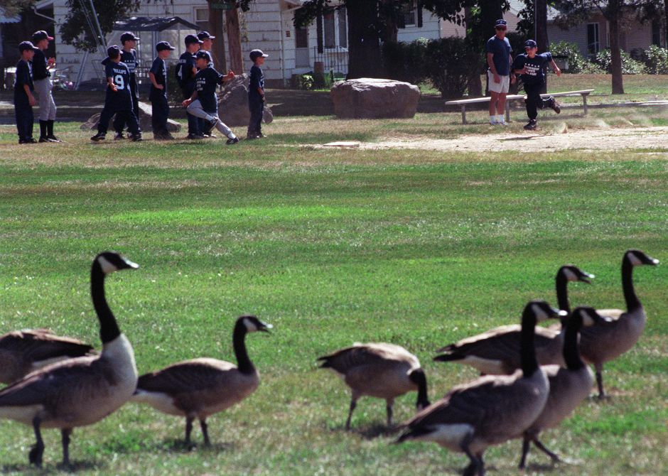 The Veterans Memorial Park geese have to go take a swim every afternoon when the Southington Northern baseball team gets their practice in Aug. 3, 1999.