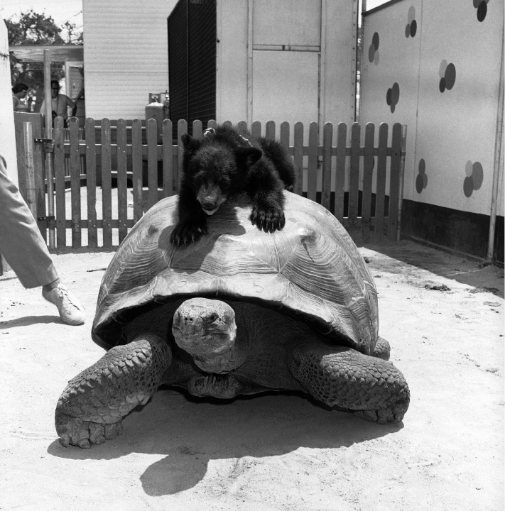 Could be that Sparky, the bear cub, is saying: Dont worry pal, Ill get you on your feet again! to Torpy, the tortoise, at Jungleland, an animal zoo at Thousand Oaks, California, July 16, 1962 Torpy was turned upside down by an attendant for the benefit of photographers and Sparky obliged by his nose into the situation. (AP Photo)