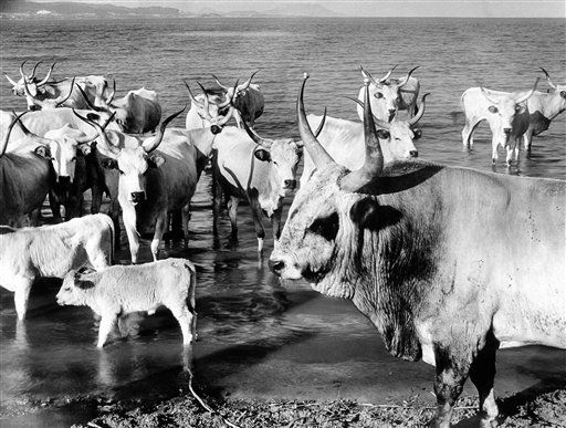Long-horned Transylvanian cattle take their ease on the shores of Lake Balaton, Hungary, on Nov. 14, 1938. The bull is bad-tempered, hence wears knobs on his horns. (AP Photo)