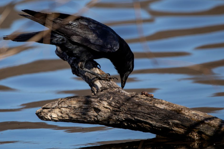 A crow picks at a log near the edge of Hanover Pond in Meriden April 23, 2018. | Richie Rathsack, Record-Journal