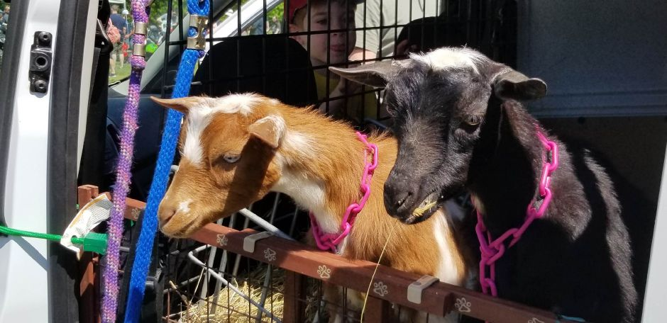 "Twin goats Kalengo and Calimba, of Bradley Mountain Farm, made an appearance at the event. The ""goatmobile"" was featured at the 17th annual Touch-a-Truck event at the Southington Drive-In, at 995 Meriden-Waterbury Turnpike, on Saturday, May 18, 2019. Photos by Jeniece Roman, Record-Journal"