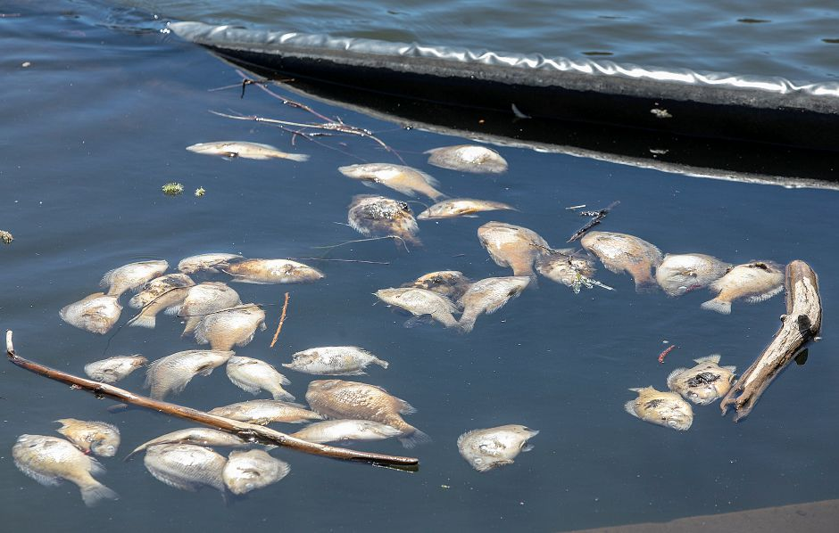 Dead fish inside a barrier in Broad Brook Reservoir along Reservoir Road in Cheshire, Tues., Apr. 16, 2019. Dave Zajac, Record-Journal