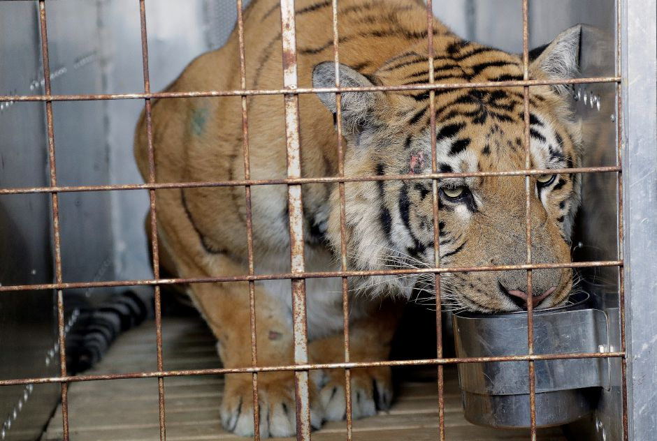 A tiger named Laziz, drinks water in a cage upon arrival at OR Tambo international airport in Johannesburg, South Africa, Thursday, Aug. 25, 2016. Laziz, is one of the 15 animals were removed and rescued by an international charity from the Gaza Strip