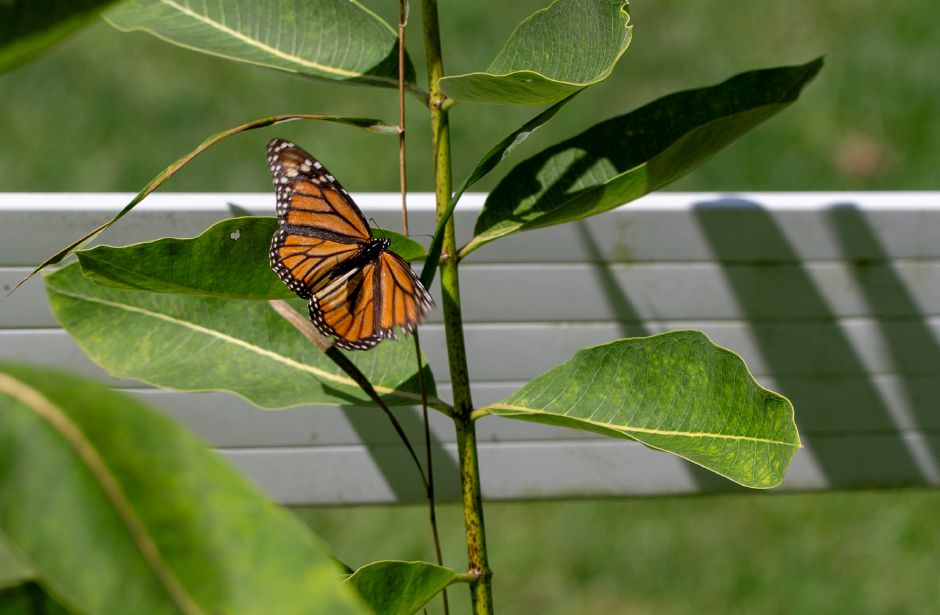 A monarch butterfly flitters around the milkweed plants at the Quinnipiac River Watershed Association Butterfly and Bee Garden on Oregon Road in Meriden Sept. 3, 2019. | Richie Rathsack, Record-Journal