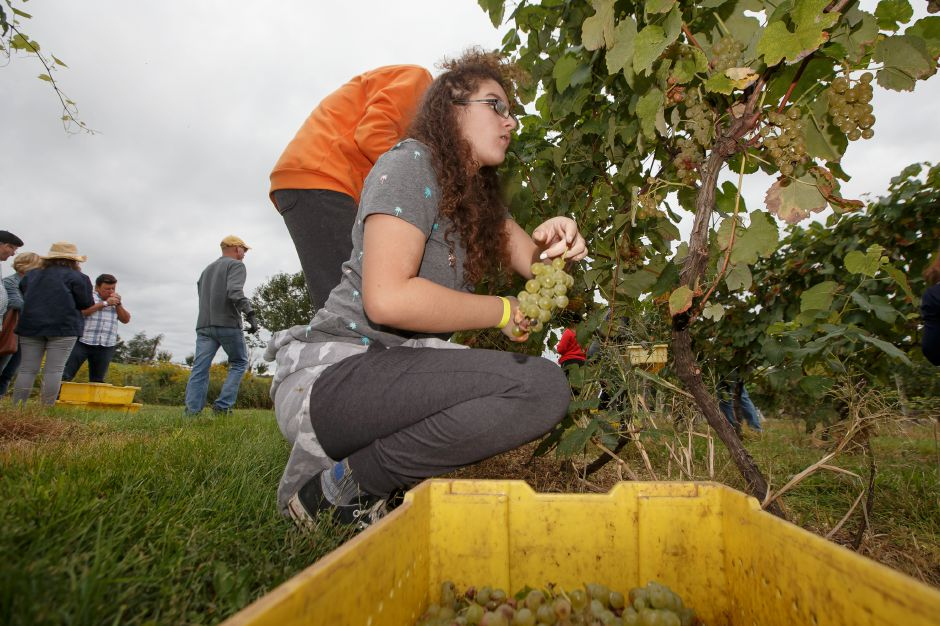 Maliya Nobrega 14 of Wallingford tosses a grape bunch into a container Sunday during the Gouveia Vineyards Harvest at Gouveia Vineyards in Wallingford September 23, 2018 | Justin Weekes / Special to the Record-Journal