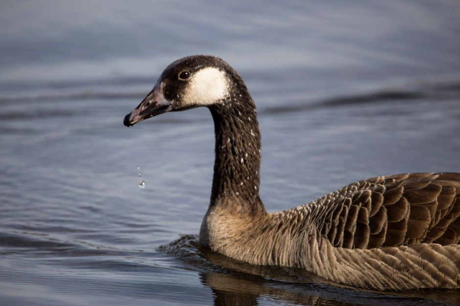 Water drips from a Canada Goose at North Farms Reservoir in Wallingford Monday April 10, 2017. | Richie Rathsack, Record-Journal