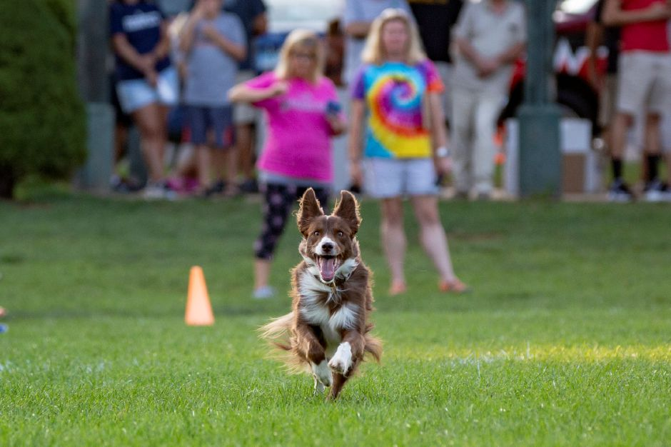 Serenity runs with a sense of determination while chasing down a disc during the SkyHoundz disc dog competition at Doolittle Park in Wallingford Aug. 22, 2018. | Richie Rathsack, Record-Journal