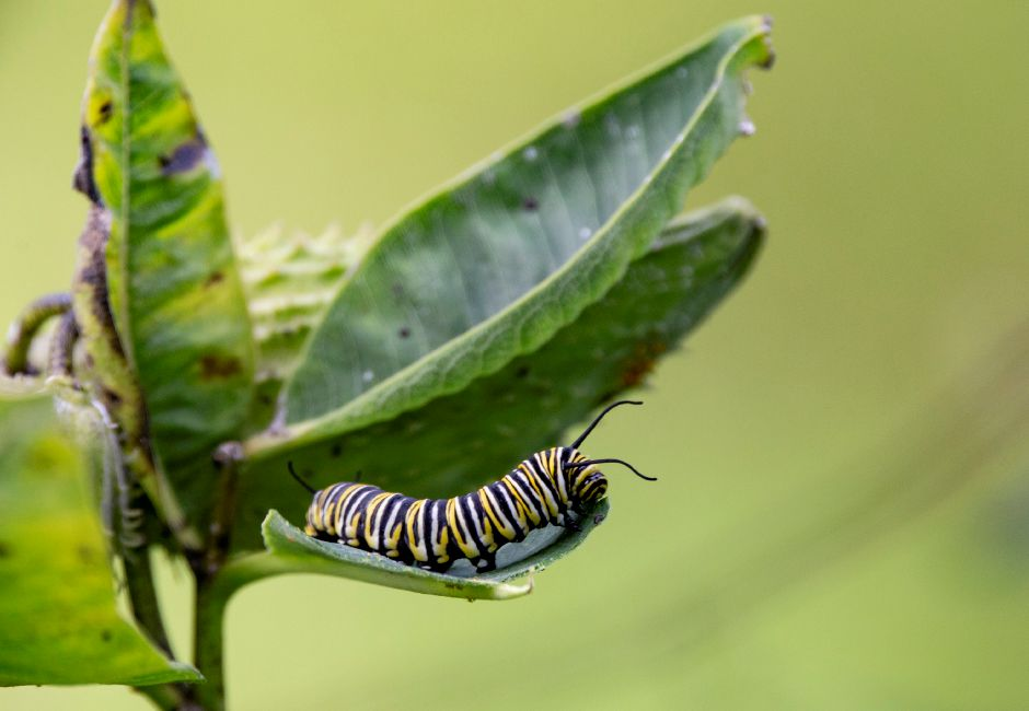 A monarch butterfly caterpillar munches on the leaves of a milkweed plant in the Quinnipiac River Watershed Association Butterly and Bee Garden on Oregon Road in Meriden Sept. 19, 2018. | Richie Rathsack, Record-Journal