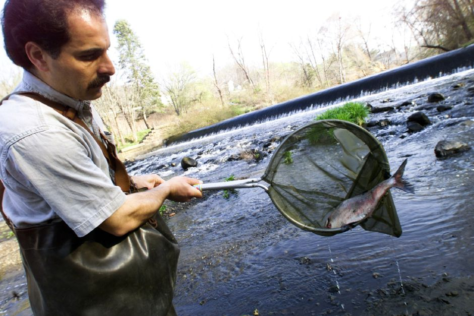 QWRA member Peter Picone removes a dead shad from the Quinnipiac River near Wallace Dam Thursday morning, April 17, 2002. The shad probably died after swimming upstream to spawn and lay eggs. The river conservation group helped move some of the fish over the dam so they could swim upstream.