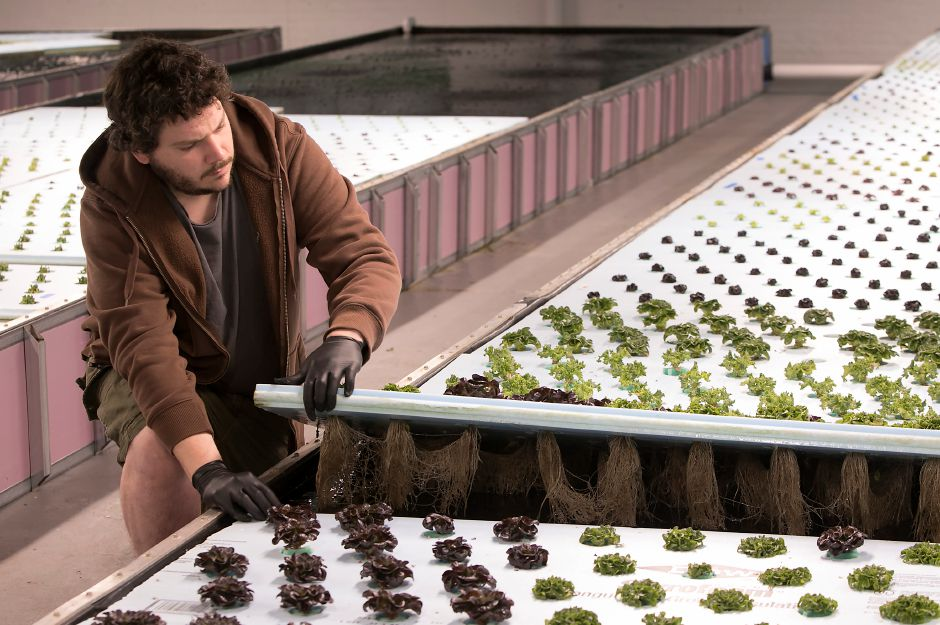 Kieran Foran, chief marketing officer and farm manager, reveals roots of lettuce plants in grow beds at Trifecta Ecosystems in Meriden, Monday, November 27, 2017. | Dave Zajac, Record-Journal