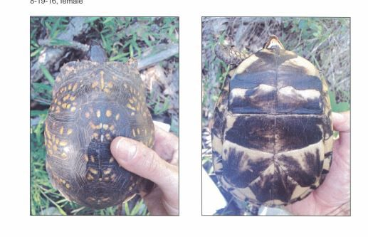 A Box Turtle pictured in the Tilcon Environmental Study. | Ashley Kus, The Citizen