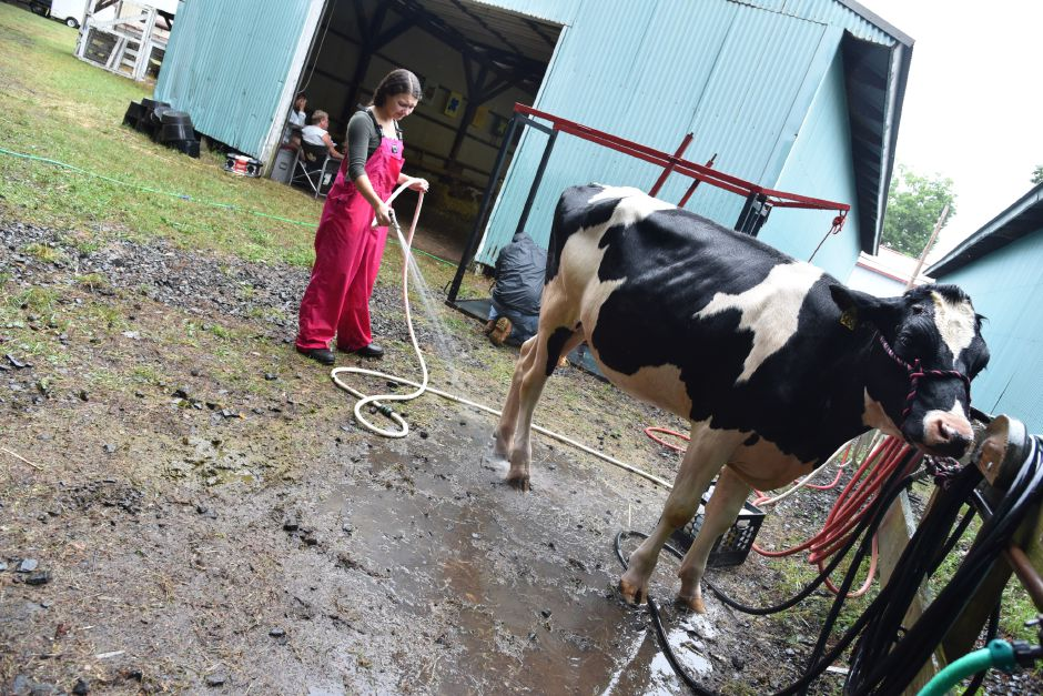 "Grace Strillacci, owner of ""Grace's Farm,"" washes one of her cows during the North Haven Fair on  Sept. 7.  Bailey Wright, Record-Journal"