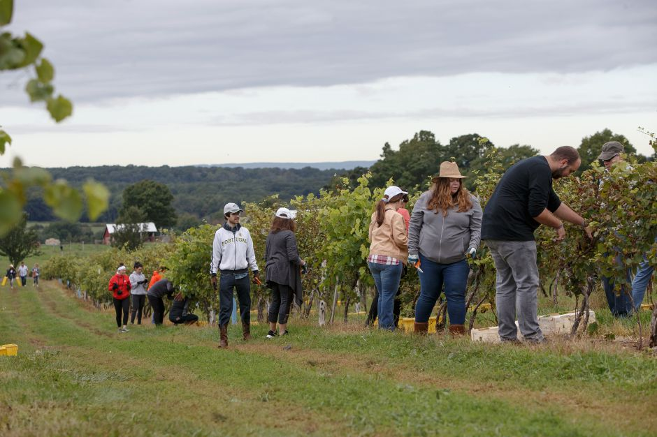Volunteers work a row of vines Sunday during the Gouveia Vineyards Harvest at Gouveia Vineyards in Wallingford September 23, 2018 | Justin Weekes / Special to the Record-Journal