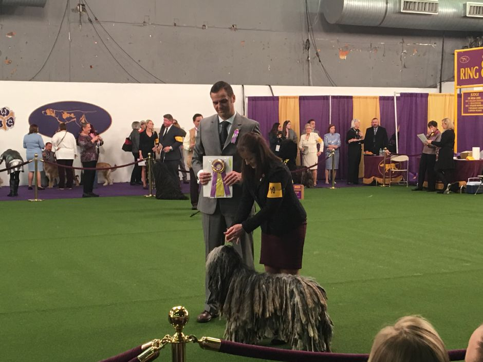 Bergamascos Sheepdo Freya winning Best of Breed at the 2019 Westminster American Kennel Club Dog Show in New York City. | Photo Courtesy Joseph Dell-Orfano