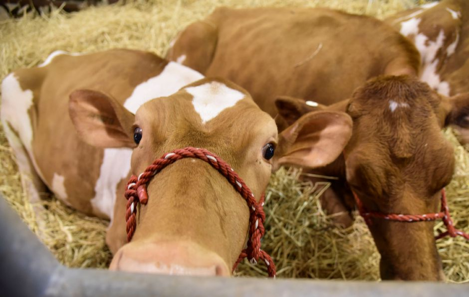 Cows rest at the Durham Fair on Friday, Sept. 28, 2018. | Bailey Wright, Record-Journal