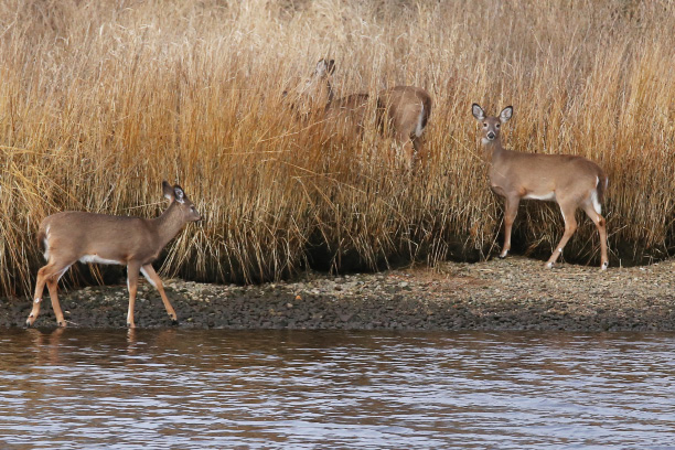 A small group of white-tailed deer head into the tall grasses along the Pawcatuck River. | (Grace White/Westerly Sun)
