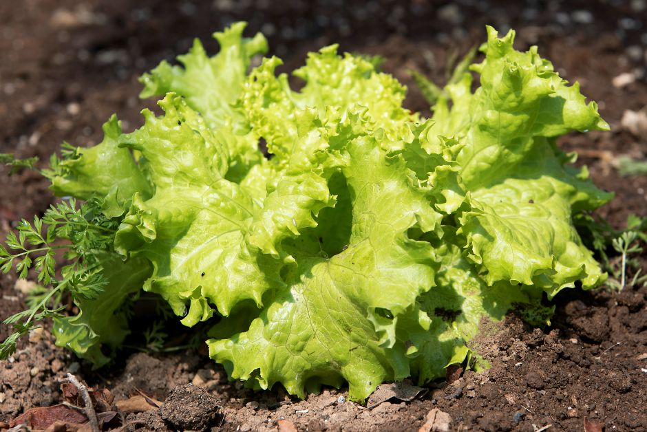 Lettuce at Boulder Knoll.