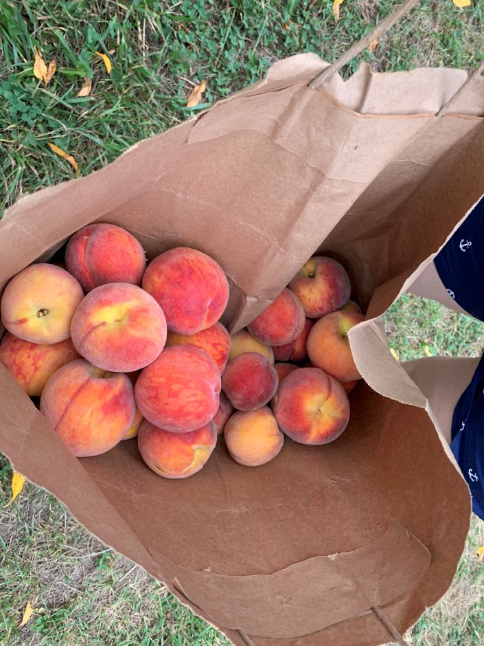 The Rodriguez family was busy at work collecting peaches for some homemade peach cobbler. Photo by Everett Bishop, Town Times.