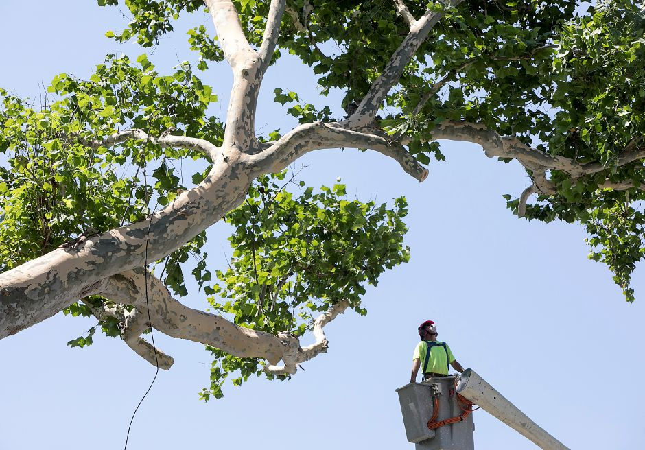 A worker looks over limbs from a bucket truck as crews continue removal of a massive sycamore tree in front of Augusta Curtis Cultural Center on East Main Street in Meriden on Wednesday, Aug. 9, 2017. City officials decided to take down the tree after finding a hollow area in the trunk. | Dave Zajac, Record-Journal