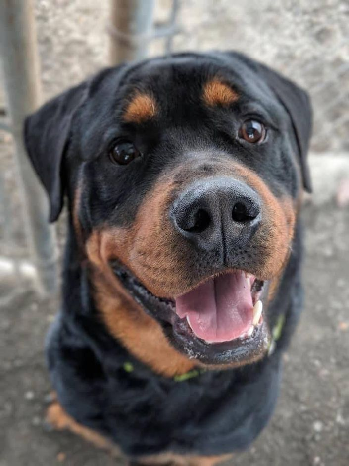 PET OF THE WEEK: Rottweiler looking for a home