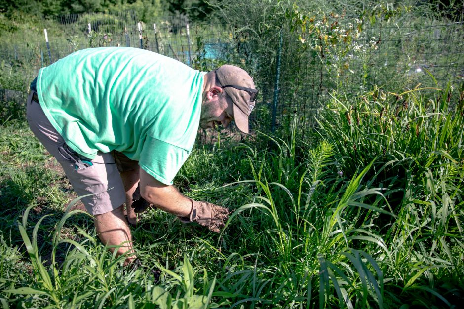 Dan Perciballi weeds his plot at the Wallingford Community Garden Monday evening. The garden has been seeing a surge in activity this year as growers find themselves with more time during quarantine. Photos by Devin Leith-Yessian, Record-Journal staff