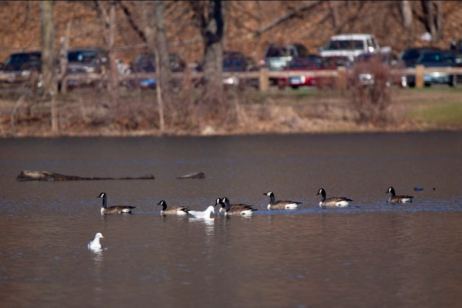 Canada geese and some gulls swim in Hanover Pond in Meriden APril 23, 2018. | Richie Rathsack, Record-Journal