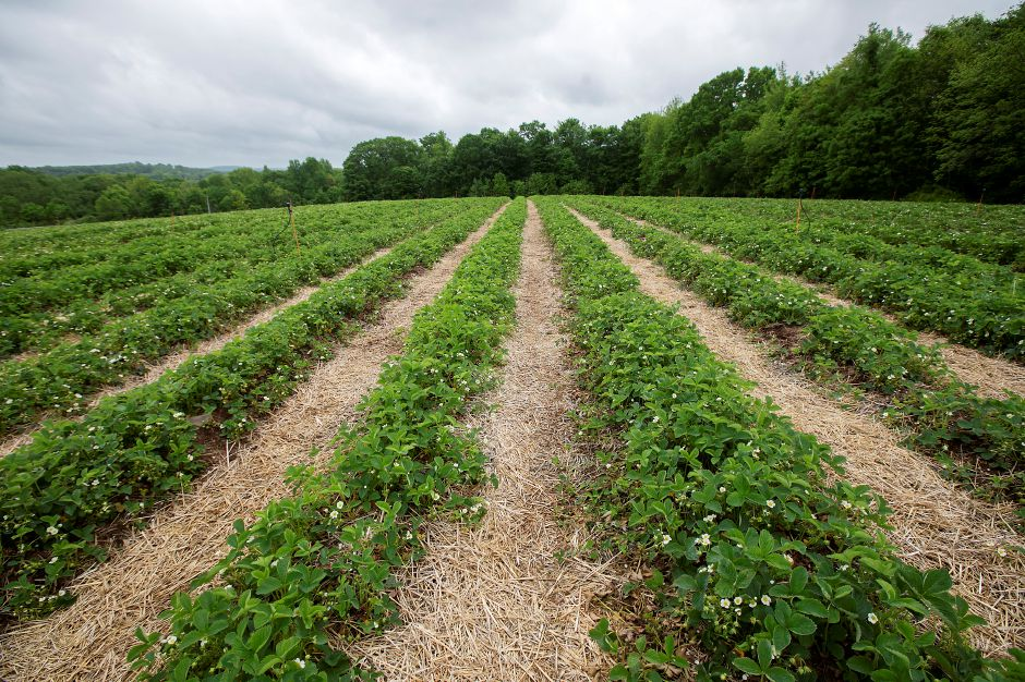 Rows of strawberry plants at Lyman Orchards in Middlefield, Thurs., May 28, 2020. Lyman Orchards is gearing up to open the fields for pick-your-own in early June. The exact date will be posted on its website and social media. Dave Zajac, Record-Journal