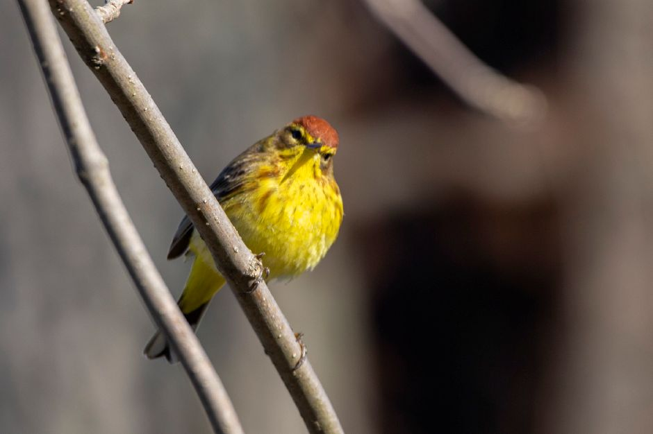 A palm warbler scrounges for food along Hanover Pond in Meriden April 23, 2018. | Richie Rathsack, Record-Journal