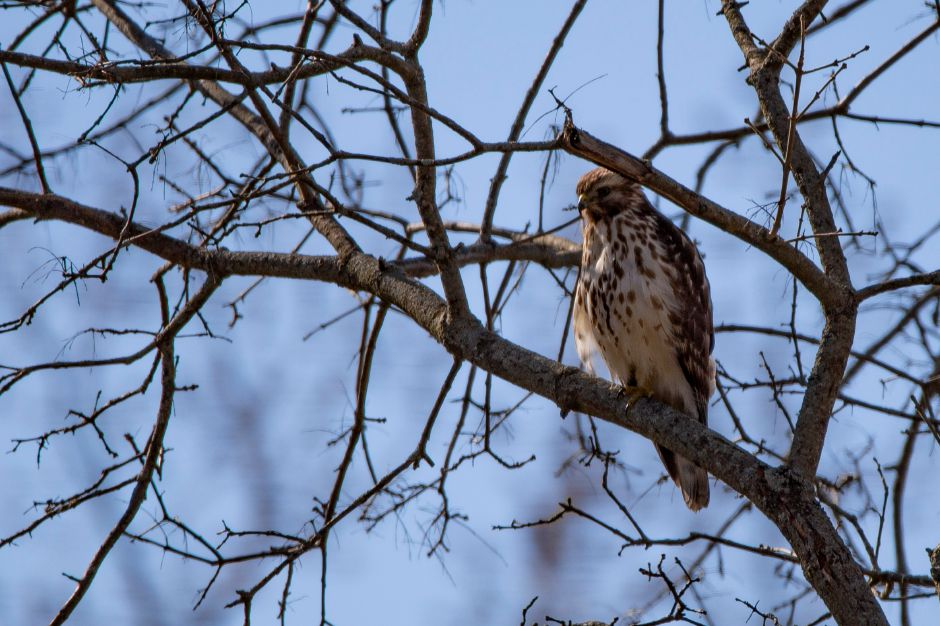 A hawk watches squirrels at Habershon Field in Meriden April 23, 2018. | Richie Rathsack, Record-Journal