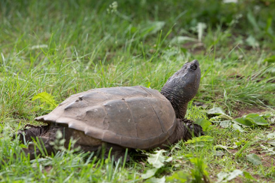 A snapping turtle visited the celebration Sunday during the Quinnipiac River Trail celebration at the Quinnipiac River Watershed in Meriden May 31, 2016 | Justin Weekes / Special to the Record-Journal