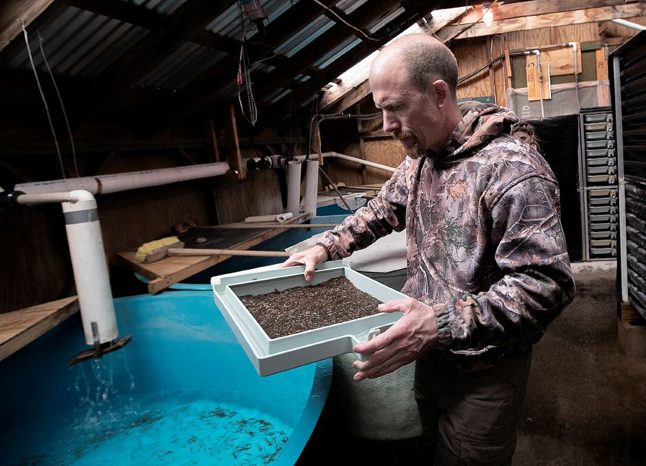 Tom Fitzgerald, maintainer, transfers a tray of salmon fry to a tank at Kensington State Fish Hatchery, 120 Old Hatchery Road in Kensington, on April 1. Photos by Dave Zajac, Record-Journal