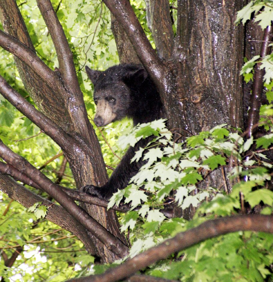 This young male black bear was found in South Meriden. It remained there until state DEEP officers tranquilized it and removed it to be released at an undisclosed location in the state. Record-Journal file photo