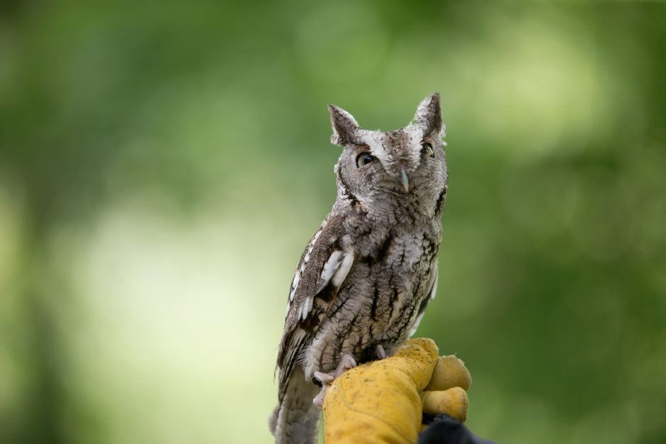 "An Easter Screech Owl rescue named ""Ash"" was part of Christine"