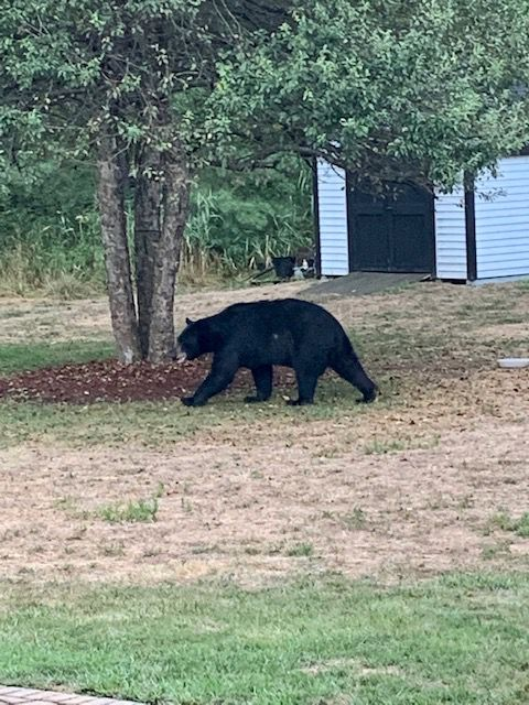 Meriden native Kyle Cooney photographed this black bear behind his home on Meriden Avenue in Southington.