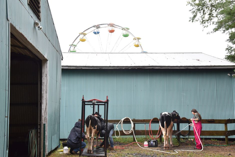 "Grace Strillacci (right) owner of ""Grace's Farm,"" washes one of her cows during the 76th annual North Haven Fair on Friday, Sept. 7, 2018. 