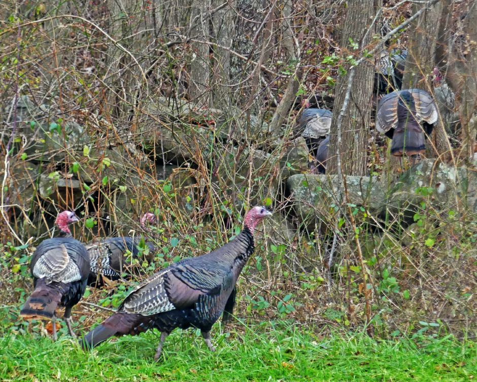 A flock of wild turkeys cross a pasture and head into the woods in Westerly, R.I. in fall of 2018. R-J outdoors writer Mike Roberts spent considerable time in the woods of Connecticut and New York in pursuit of the crafty Tom turkey. Harold Hanka, The Westerly Sun