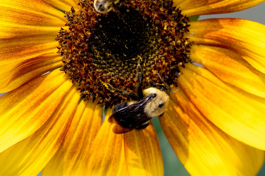 Bumblebees collect pollen and nectar from a sunflower at the Cheshire West Community Butterfly Gardens along the Farmington Canal Heritage Trail in Cheshire on Tuesday, September 15, 2020. Aaron Flaum, Record-Journal