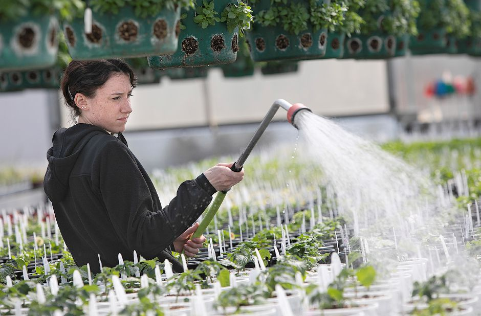 Savannah Martin, growing associate, waters a variety of flowering plants at Winterberry Gardens 2070 West St., Southington, Wed., Mar. 27, 2019. The business opens Monday April 1. Dave Zajac, Record-Journal