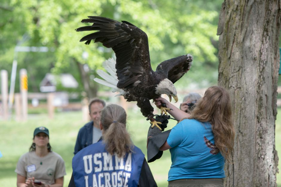 "A Bald Eagle named ""Aurora"" baits as she is displayed for guests Sunday during the Quinnipiac River Trail celebration at the Quinnipiac River Watershed in Meriden May 31, 2016 