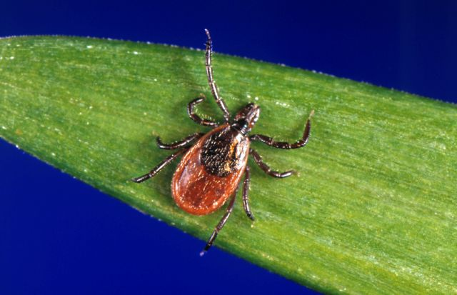FILE - In this undated file photo provided by the U.S. Centers for Disease Control and Prevention (CDC), a blacklegged tick - also known as a deer tick, rests on a plant. (CDC via AP, File)