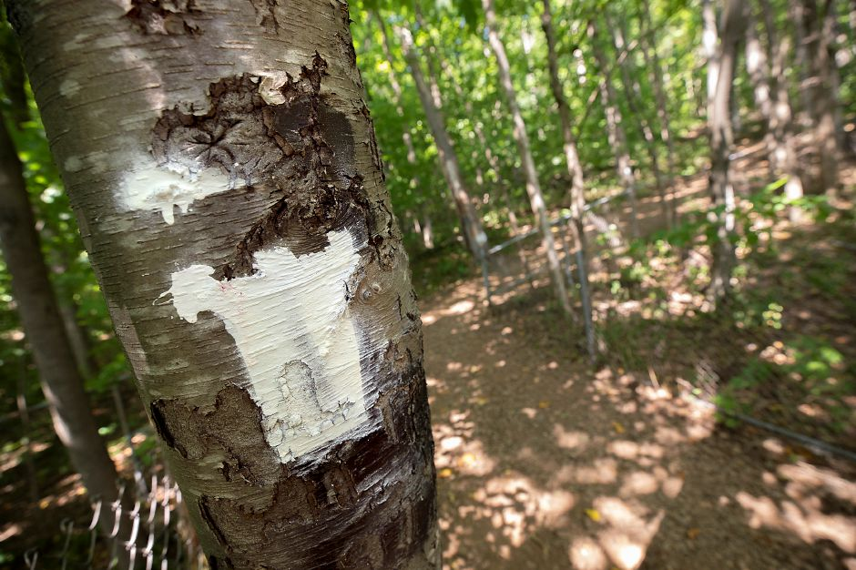 A new trail marker painted on a tree just past the pedestrian bridge over Interstate 691 along a trail to Castle Criag in Meriden