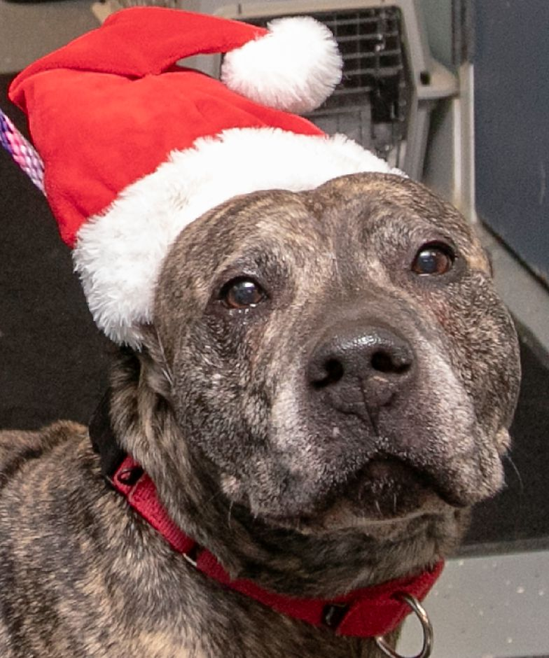 "Pit bull ""Bud"" wears a Santa cap at the Municipal Animal Shelter in Wallingford, Fri., Dec. 13, 2019. Shelter staff have been posting profiles and photos of each animal on Facebook, along with what they want for Christmas. The public is invited to visit the shelter, 5 Pent Road, from 11 a.m. to 2 p.m. Dec. 24 to spend time with the animals and drop off gifts. Dave Zajac, Record-Journal"