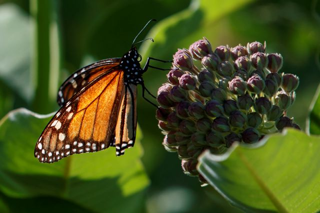A monarch butterfly perches on milkweed at the Patuxent Wildlife Research Center in Laurel, Md., Friday, May 31, 2019. Farming and other human development have eradicated state-size swaths of its native milkweed habitat, cutting the butterfly