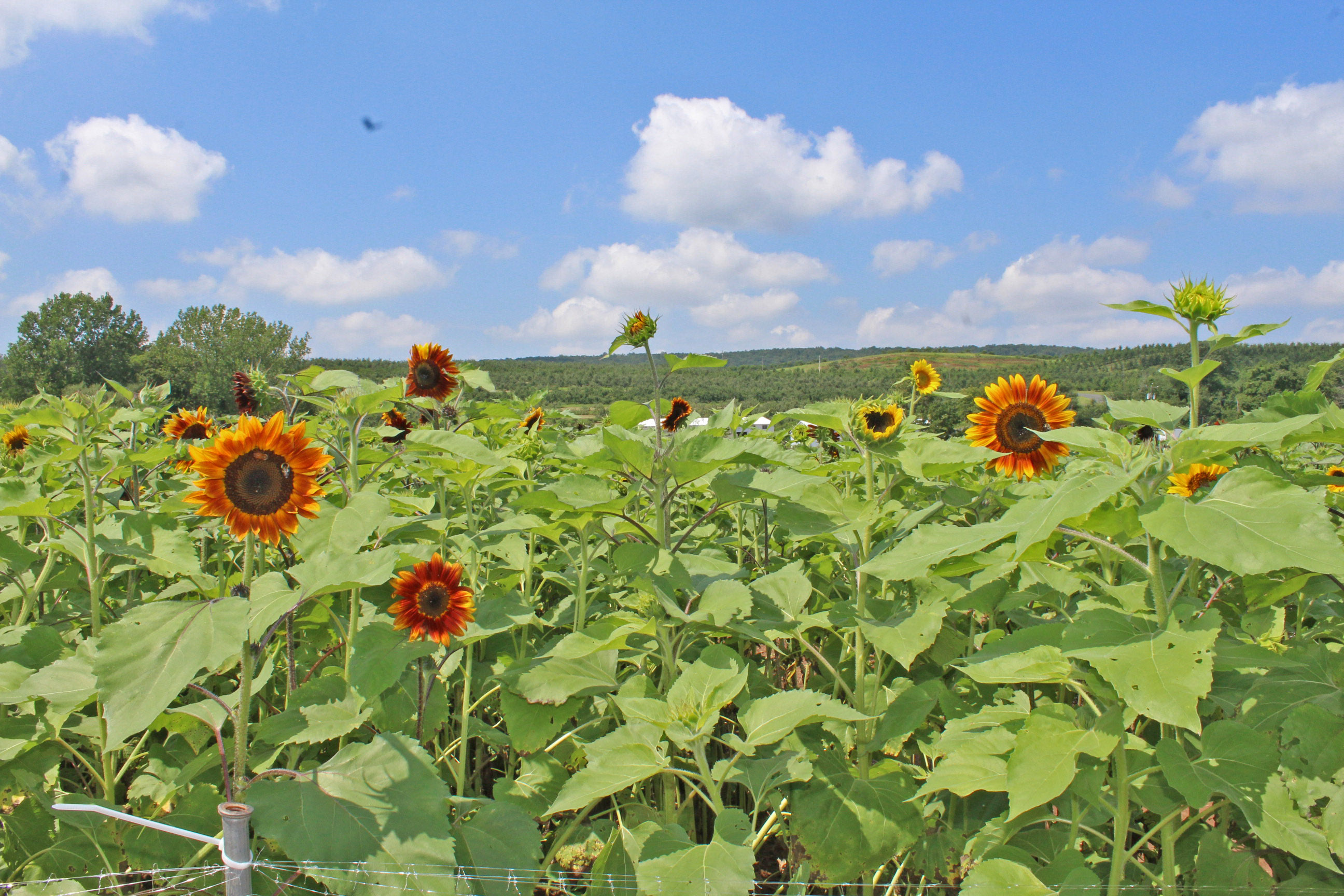 A glance at a mere few of the 350,000 sunflowers at Lyman Orchard.