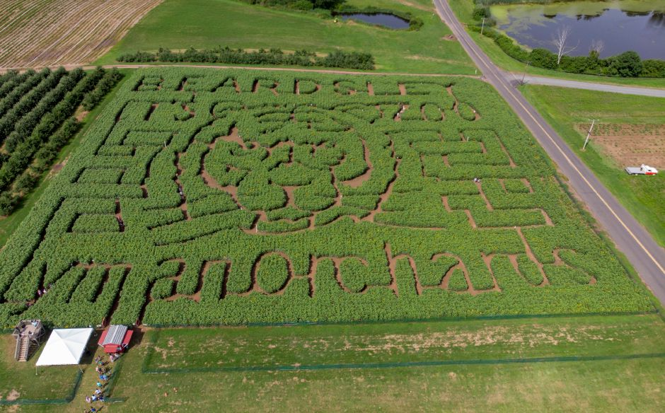 The sunflower maze at Lyman Orchards in Middlefield opened for another season. This year